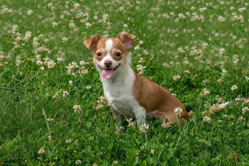 I cuccioli della chihuahua camminano sull'erba verde di estate fotografie stock