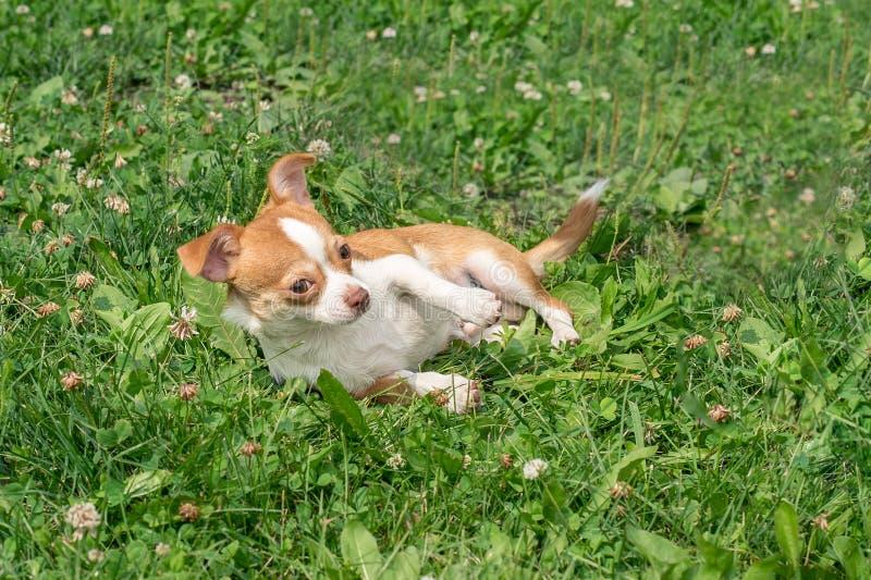 I cuccioli della chihuahua camminano sull'erba verde di estate fotografie stock libere da diritti
