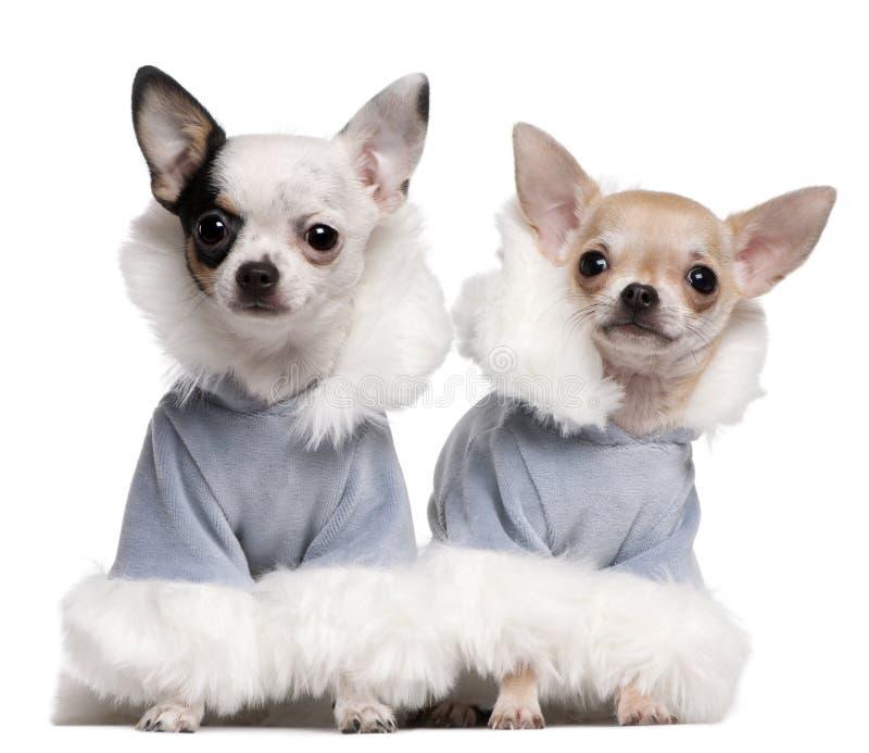 I cuccioli della chihuahua si sono vestiti in attrezzature blu di inverno fotografia stock libera da diritti