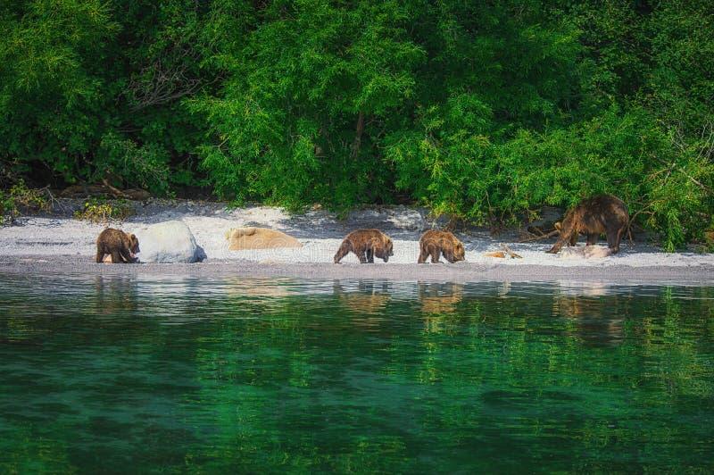 I cuccioli della femmina e di orso dell'orso bruno di Kamchatka pescano il pesce sul lago Kuril Penisola di Kamchatka, Russia fotografie stock