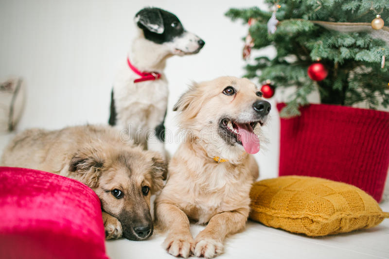 I cuccioli di cane svegli vicino hanno decorato l'albero di Natale in studio fotografia stock