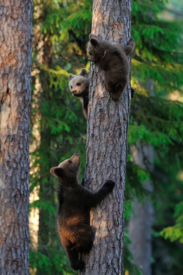 I cuccioli di orso scalano su un albero fotografie stock libere da diritti