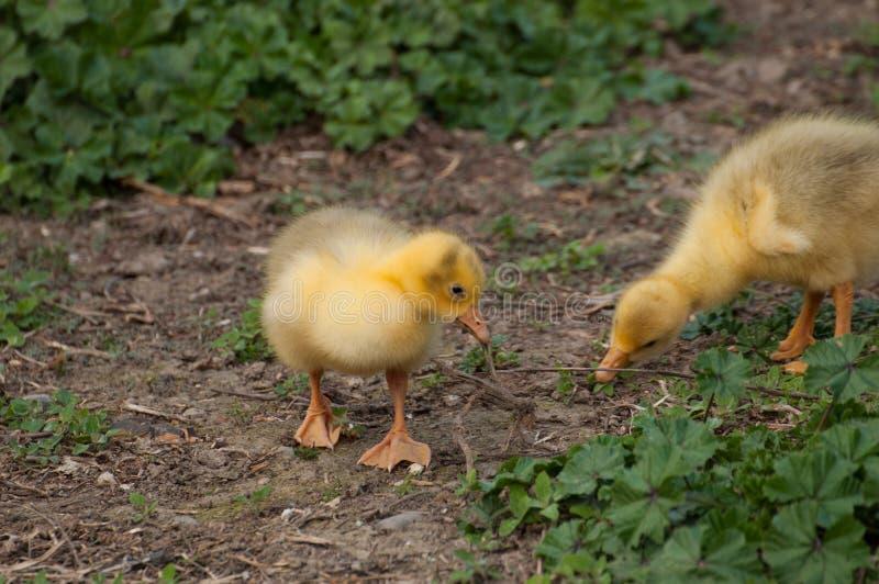 I cuccioli gialli dell'oca bevono l'acqua nell'iarda Piccolo animale domestico esterno fotografia stock