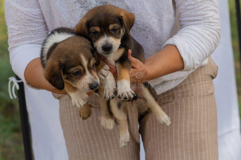 I cuccioli ibridi svegli sono virus volontari immagine stock libera da diritti