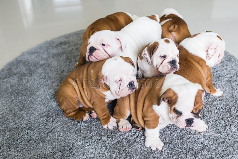I cuccioli inglesi del bulldog si trovano insieme sul tappeto fotografia stock libera da diritti