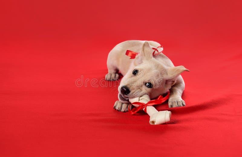 I cuccioli mordono un osso fotografia stock