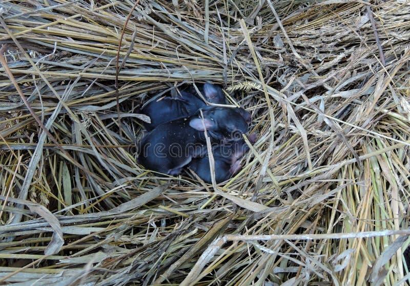 I cuccioli neri neonati del coniglio si trovano accartocciato in un nido della paglia immagini stock libere da diritti