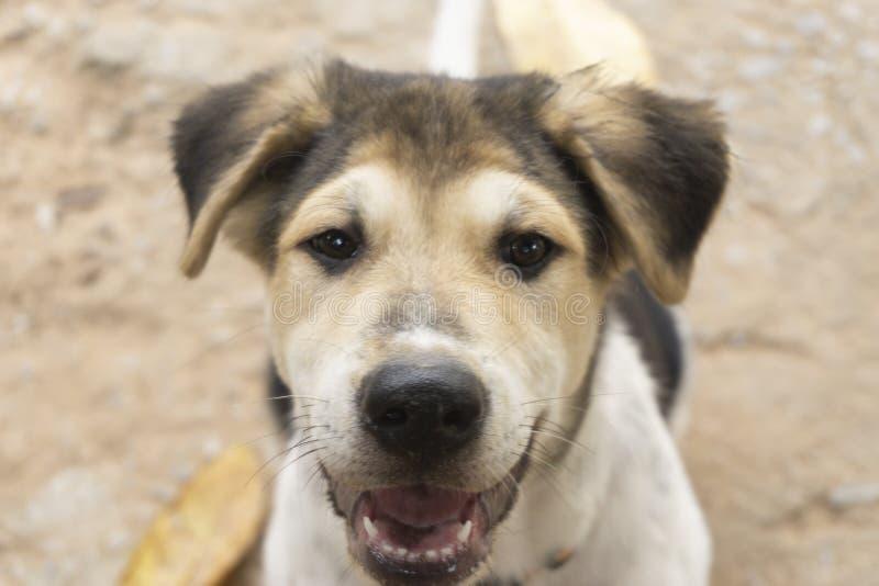 I cuccioli sono marroni, bianco, capelli neri, naso nero, occhi marroni fotografia stock