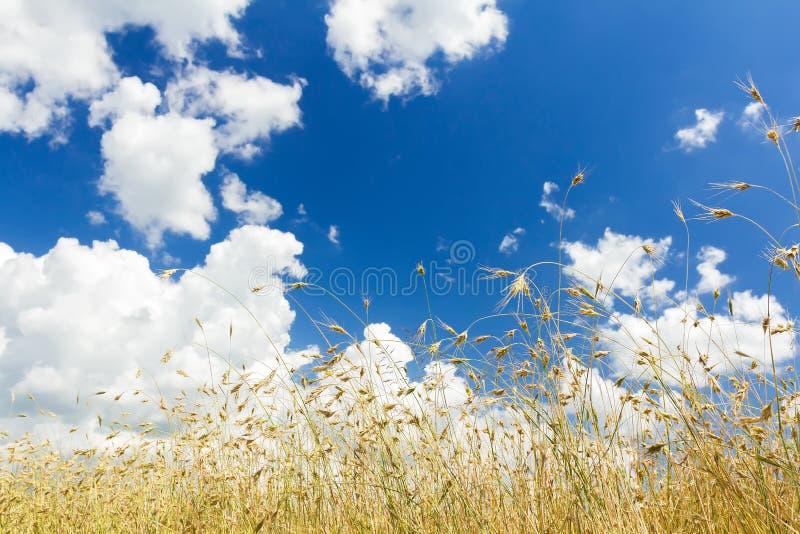 I cumuli su cielo blu aereo sopra le orecchie di maturazione del cereale dell'avena sistemano fotografie stock