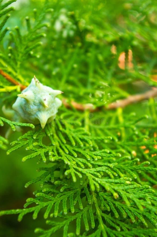 I decurrens del Calocedrus dell'albero di cedro di incenso si ramificano vicino su immagine stock libera da diritti