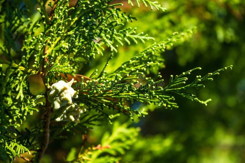 I decurrens del Calocedrus dell'albero di cedro di incenso si ramificano vicino su immagine stock