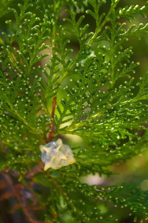 I decurrens del Calocedrus dell'albero di cedro di incenso si ramificano vicino su immagini stock
