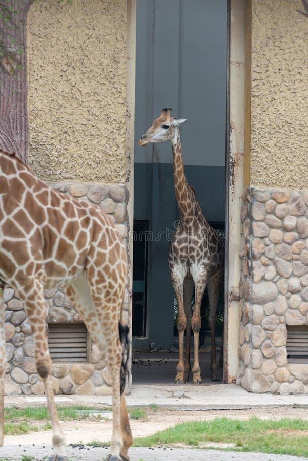 I deGiraffa camelopardalisna royaltyfri fotografi