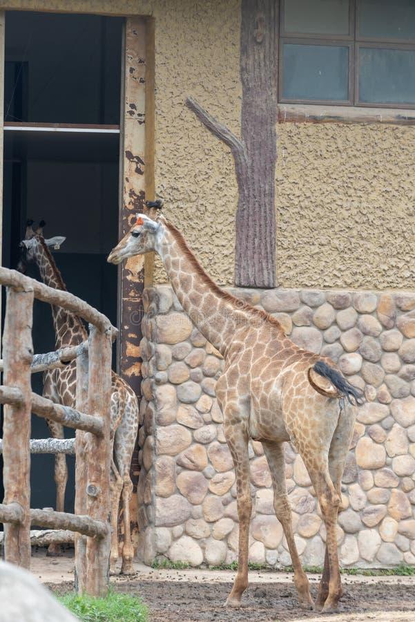 I deGiraffa camelopardalisna fotografering för bildbyråer