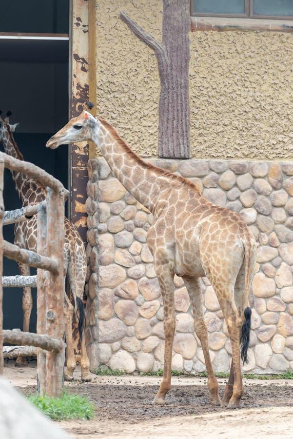 I deGiraffa camelopardalisna arkivbild