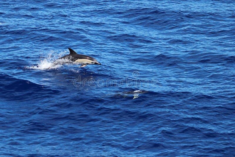 I delfini che nuotano e saltano nell'oceano Delfinus delphinus (delfino comune) delfini nell'habitat naturale Mammifero marino ne fotografia stock