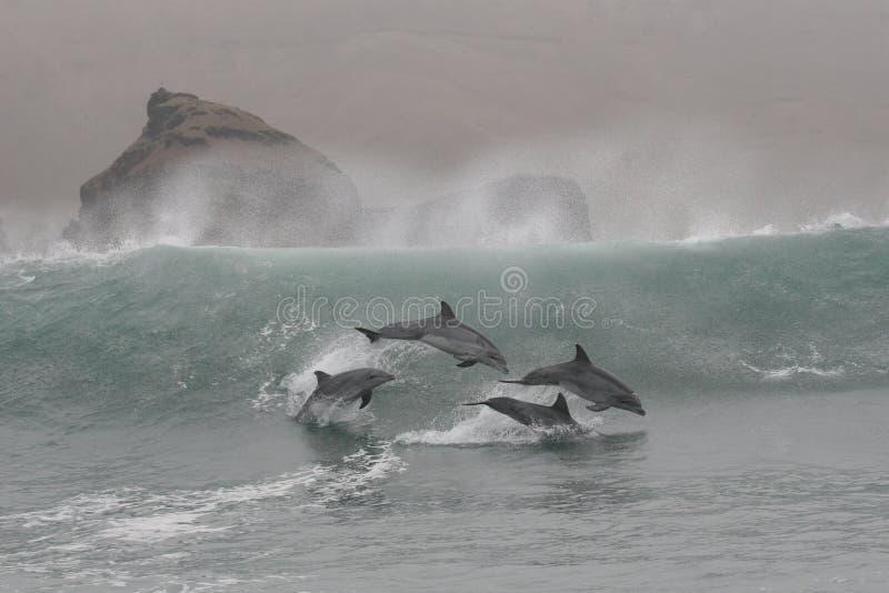 I delfini di Bottlenose che saltano nelle onde di Chilca tirano, a sud di Lima, il Perù in secco fotografie stock