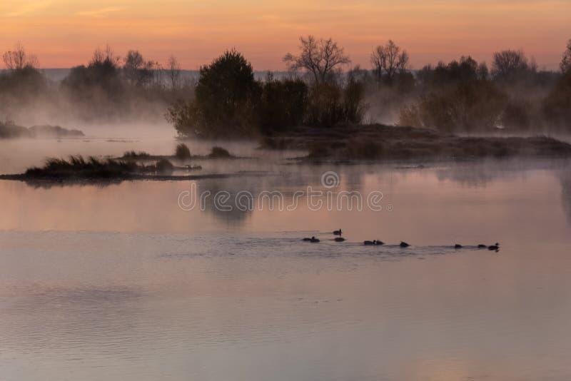 I den tidiga höstmorgonen på gryning simmade flera änder på ret arkivbild
