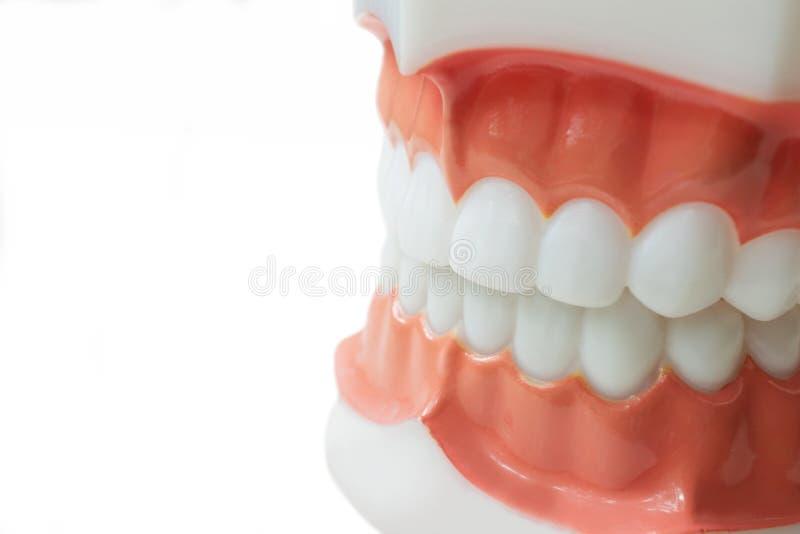 I denti dentari modellano su fondo bianco con il percorso di ritaglio immagine stock libera da diritti
