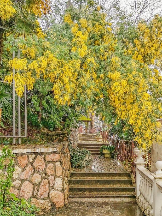 I det gammalt parkera blommar mimosan b?nkgreen inget regna tabelltree arkivfoton