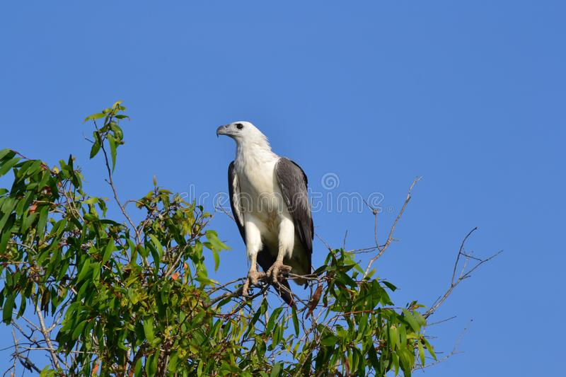 White bellied sea eagle in Kakadu. I did a Yellow Water wildlife cruise in Kakadu National Park and got this shot of a white-bellied sea eagle scanning the royalty free stock photography
