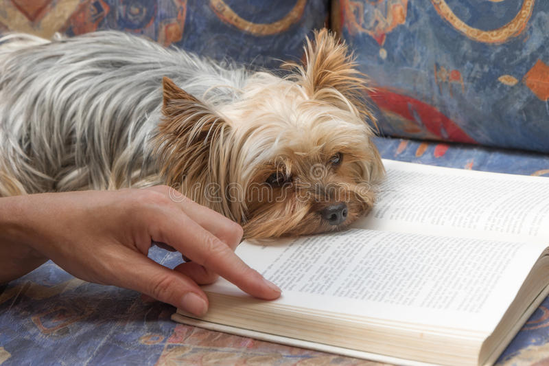 I really do not enjoy reading. Yorkshire terrier dog is lying on open book. Woman's hand is pointing to text in a book