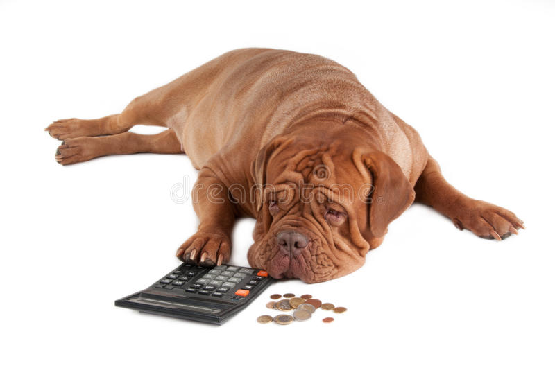 I do not have enough money. Tired dogue de bordeaux calculating how much money he has till the end of the month stock photos