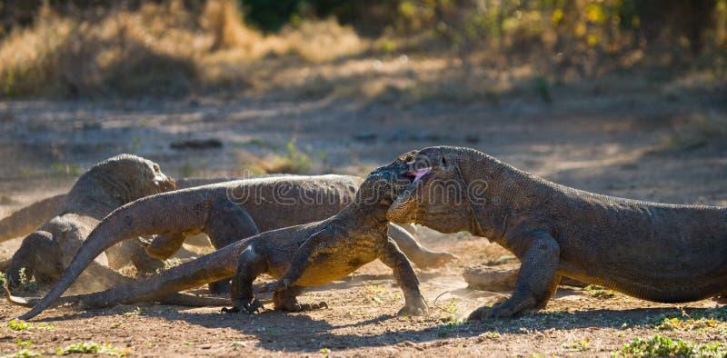 I draghi di Komodo stanno combattendo Immagine molto rara l'indonesia Parco nazionale di Komodo immagini stock libere da diritti