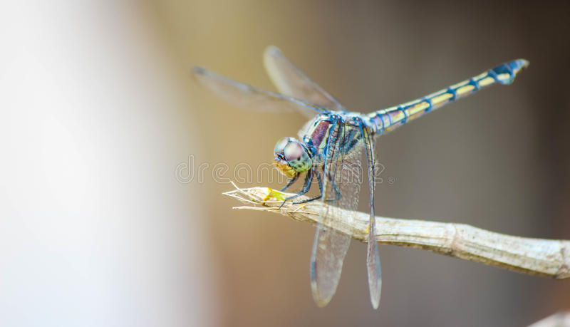 I am dragonfly, royalty free stock photo