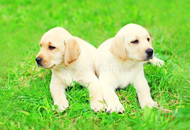 I due cani di cuccioli svegli labrador retriever stanno trovando insieme su erba fotografia stock