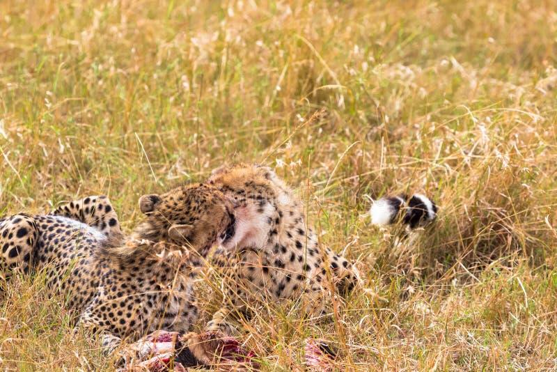 I due fratelli del ghepardo si congratulano sulla preda Masai Mara, Kenia immagine stock
