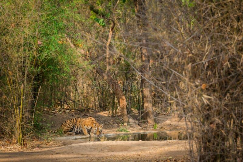 I en bränningsvärme i somrar på bandhavgarhtigerreserven vilade den berömda tigrinnan med hennes gröngölingar nära en tadobawater royaltyfria bilder