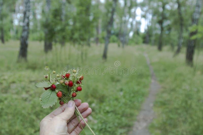 I en kvinnlig hand per gruppen av lösa jordgubbar dungen f?r bj?rkl?vverkgreen kan arkivbild