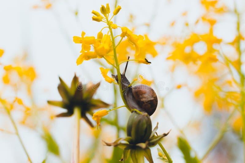 I en skogglänta bland härliga gula blommor äter en snigel en växtstjälk arkivbild