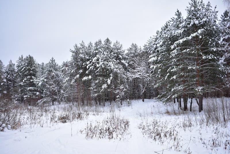 I en snöig skog var tystnaden av snödiagramen så uttrycksfull att den blir kuslig royaltyfria bilder