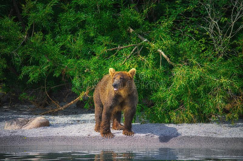 I fermi dell'orso bruno di Kamchatka pescano sul lago Kuril Penisola di Kamchatka, Russia fotografia stock
