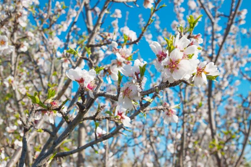 I fiori bianchi balzano mandorlo del fondo immagini stock