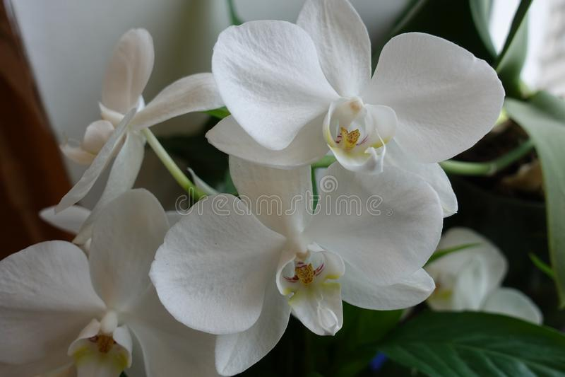 I fiori bianchi dell'orchidea si chiudono su Fiore domestico sulla finestra immagini stock
