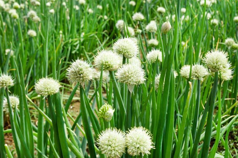 I fiori bianchi della cipolla verde su un giardino inseriscono, immagine stock