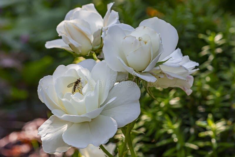 I fiori bianchi incontaminati di questo arbusto sono aumentato sono visitati dalla a hoverfly fotografie stock libere da diritti