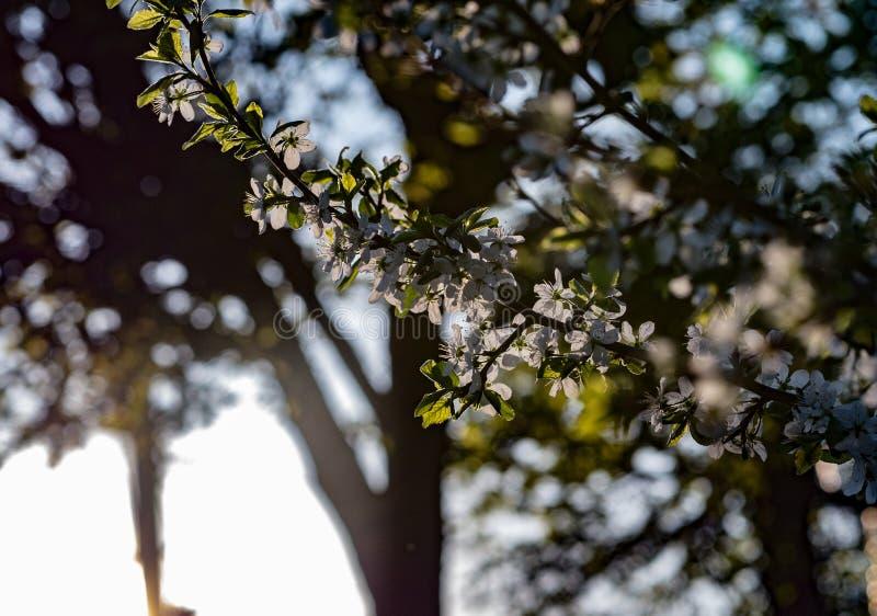 I fiori bianchi sbocciano sul ramo della ciliegia fotografia stock