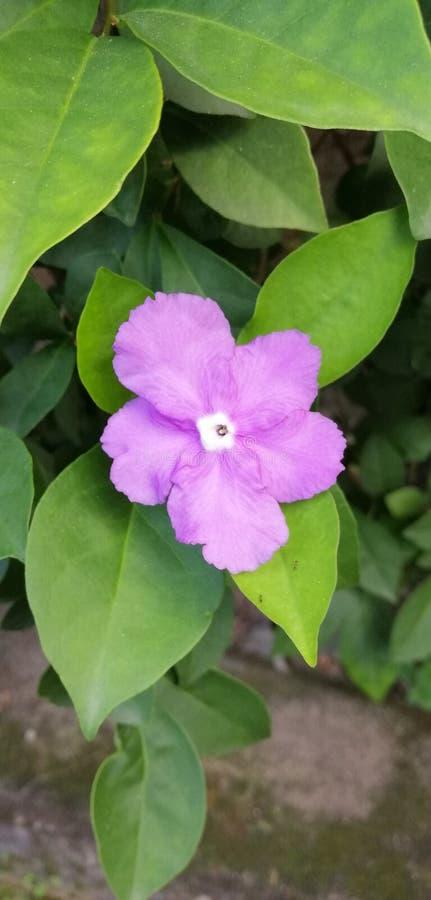 I fiori colorano la natura del giardino dello Sri Lanka fotografia stock