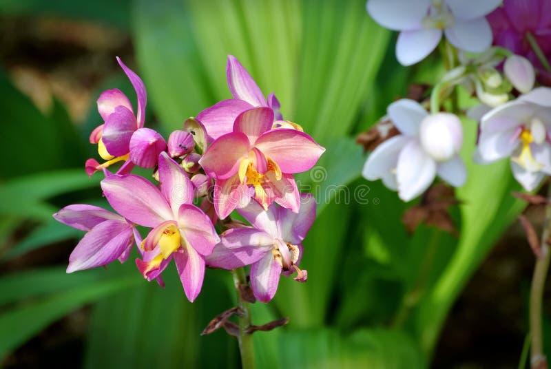 I fiori con i petali rosa e gialli sulle foglie verdi fresche hanno offuscato il fondo immagini stock