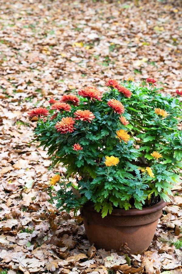 I fiori conservati in vaso del crisantemo di concetto delle piante di autunno sulla quercia lascia il fondo immagini stock libere da diritti