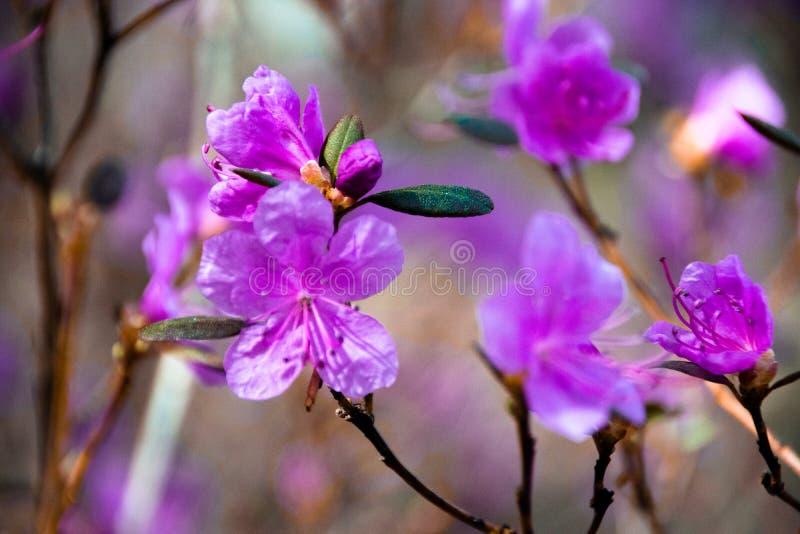 I fiori dei rosmarini selvatici nel taiga siberiano immagine stock libera da diritti