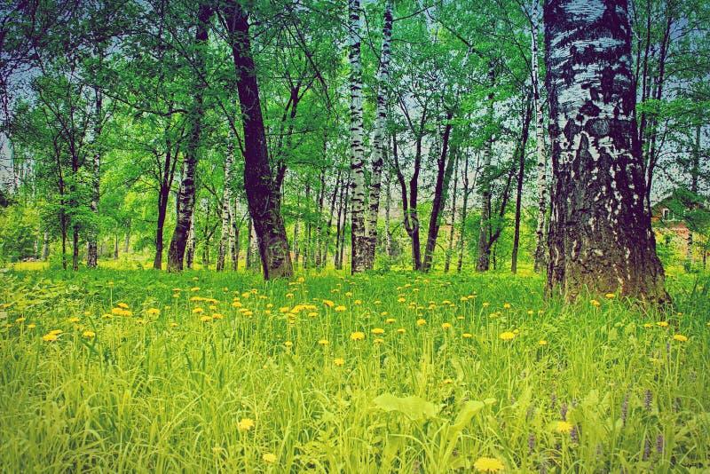 I fiori del giacimento dei denti di leone di giallo dell'estate del boschetto della betulla abbelliscono immagine stock