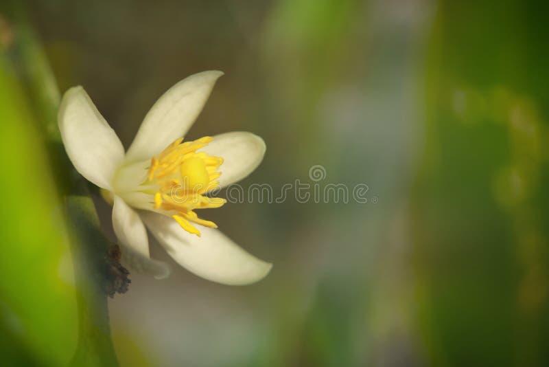I fiori del limone stanno fiorendo fotografia stock