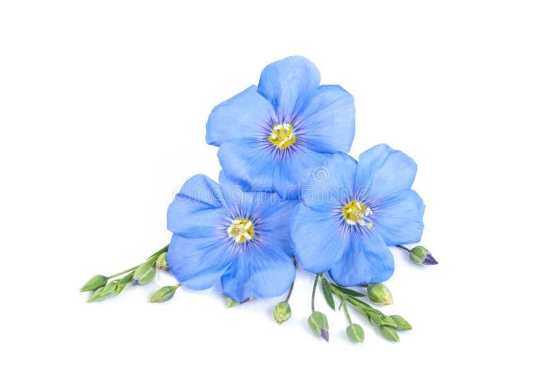 I fiori del lino con i semi si chiudono su su bianco fotografia stock libera da diritti