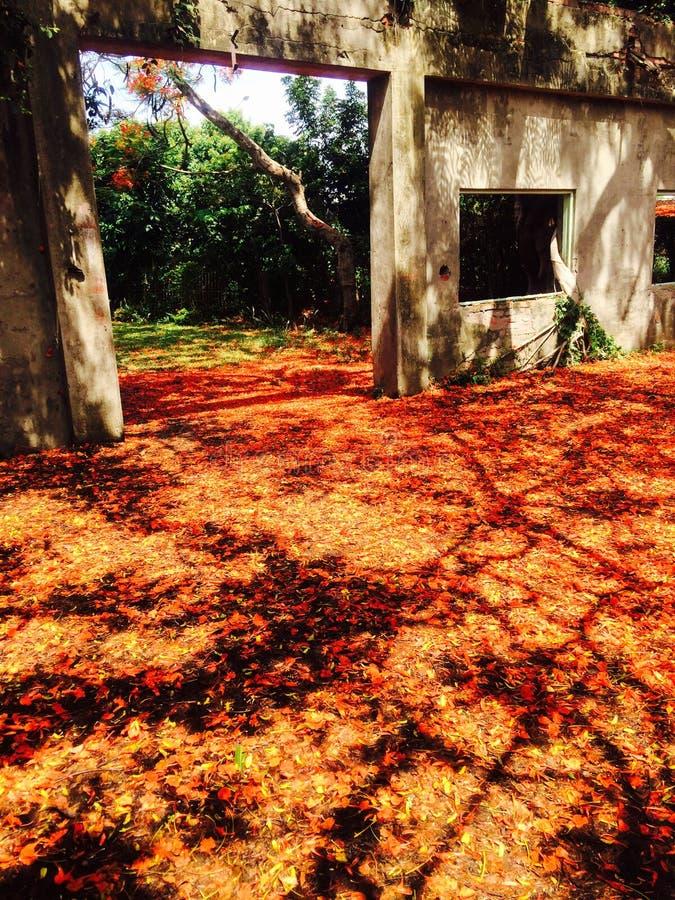 I fiori del ` s di Poinciana sono sulla terra fotografia stock