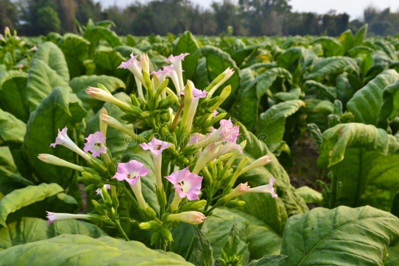 I fiori del tabacco nella pianta di giardino della Tailandia fotografie stock libere da diritti